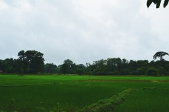 Paddy fields that remind me of my hometown